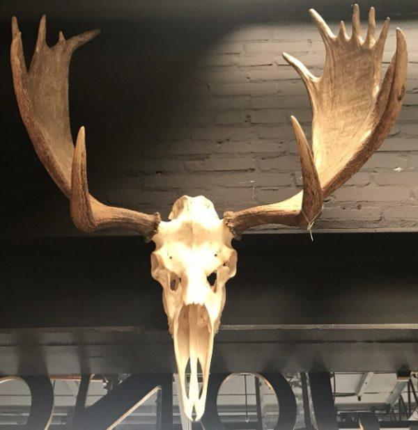 Imposant gewei van een Candese eland