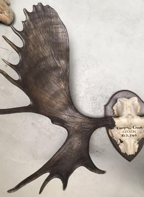 Beeindruckende Geweih eines kanadischen Elch
