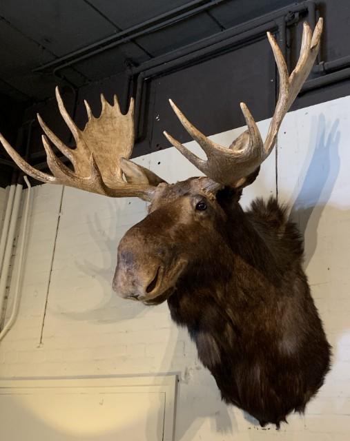 Imposante opgezette kop van een Canadese eland