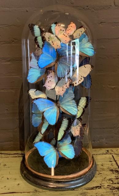 Große antike Glocke, reich gefüllt mit blauen und weißen Morpho Schmetterlingen