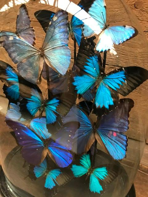 Large antique glass dome very richly filled with beautiful blue Morpho butterflies