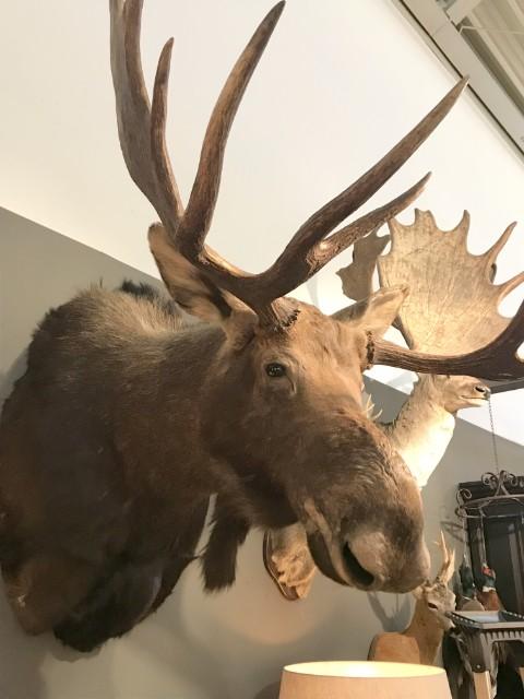 Bijzondere en grote opgezette kop van een Canadese eland