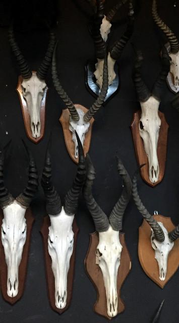 Große Sammlung von afrikanischen Schädeln