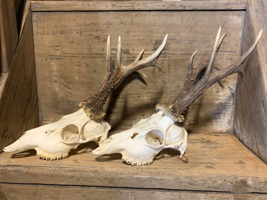Grote collectie kapitale reebok geweien met hele schedel