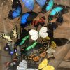 Large oval antique dome richly filled with beautiful butterflies in many colors