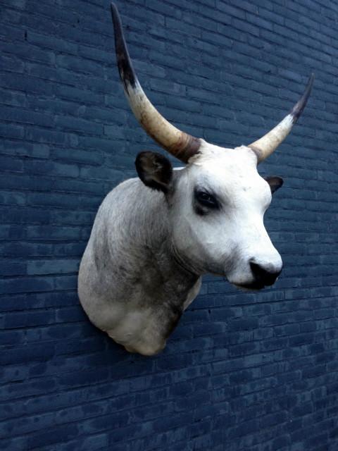 Large stuffed head of a Hungarian Steppe Bull.