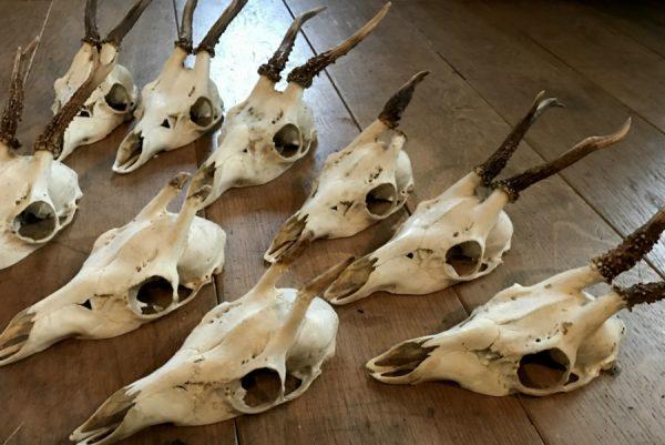 Lot zeer gave ree schedeltjes zonder houten plank en plankje met tanden van een wild zwijn