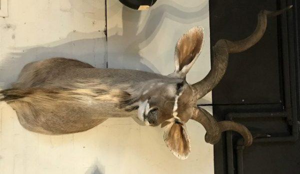 Prächtige Herrenausgestopften Kopf eines großen Kudu