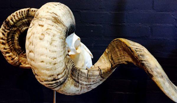 Enorme schedel van een ram