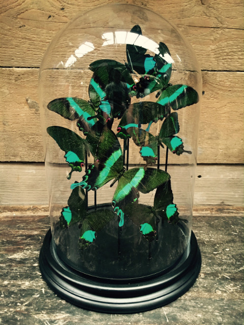 Glas dome with butterflies (Papilio Karna and Blumei)