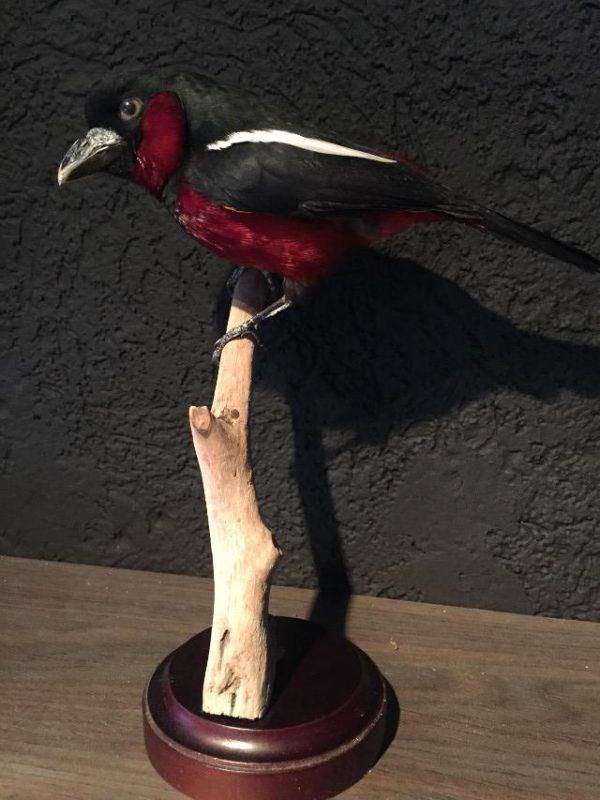 Opgezette zwart rode hapvogel.