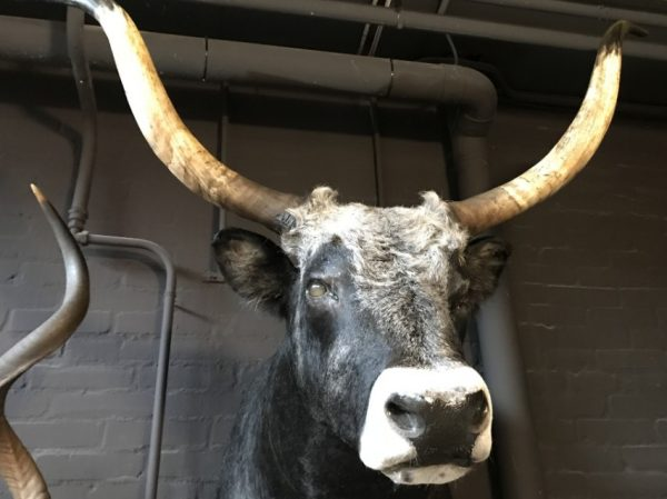 Ausgestopfter Kopf eines riesigen ungarischen Steppenbullen