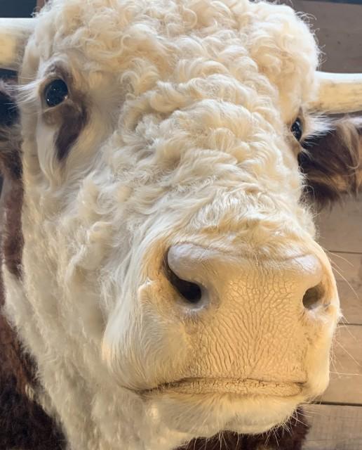 Nieuwe imposante opgezette kop van een Hereford stier
