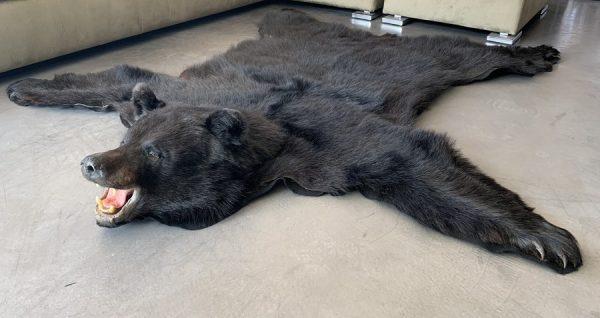 Nieuwe huid van een zwarte beer met een opgezette kop
