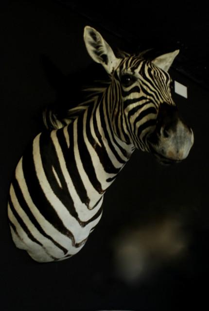 New shoulder mount of a zebra