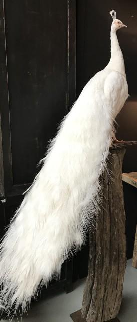 Nieuwe opgezette witte pauw