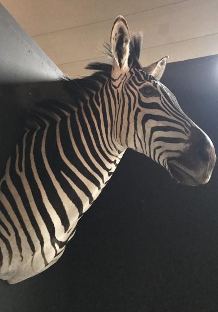 Nieuwe prachtig opgezette kop van een zebra