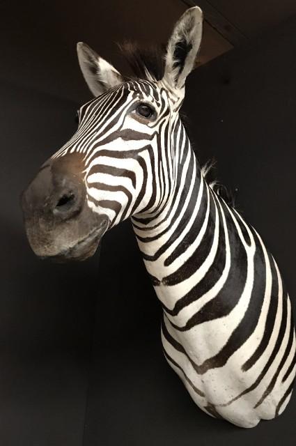 Neue ausgestopfte Kopf eines Zebra