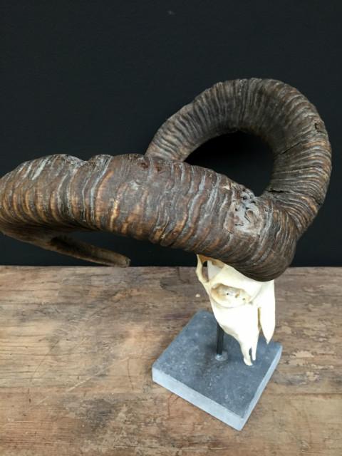 Schöne Dekorationsstück, große Mufflon Schädel auf einem Steinsockel