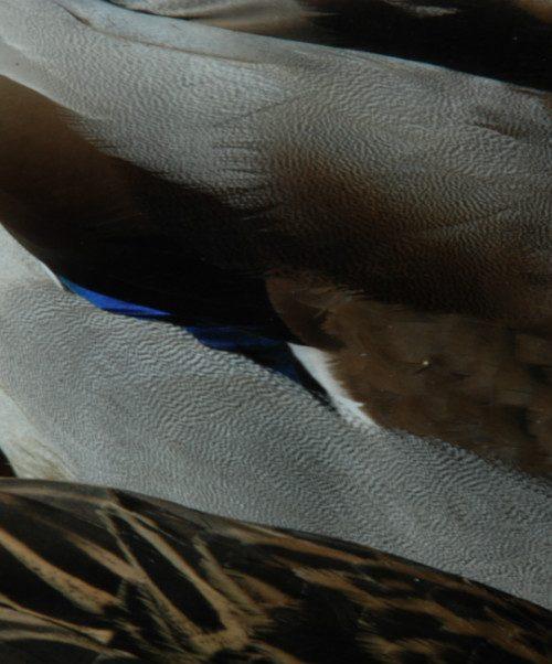 Mooi koppel als stillleven opgezette wilde eenden