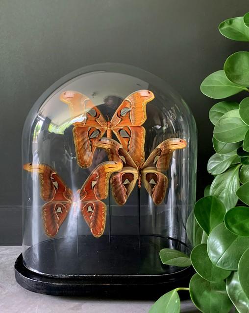 Alte Glocke mit 3 Attacus Atlas Schmetterlingen