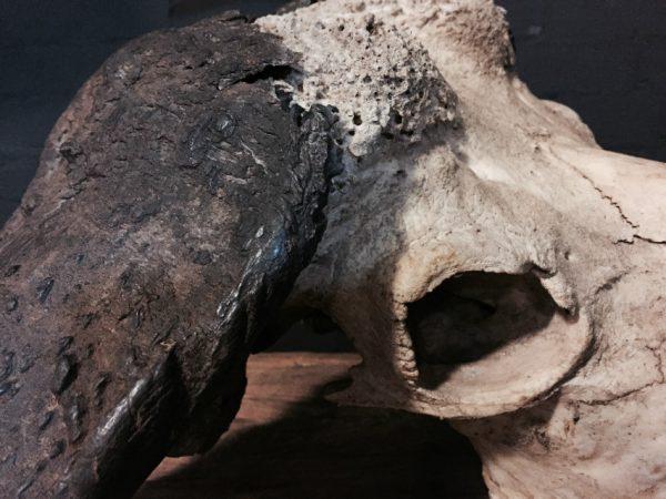 Oude ruige schedel van een kapitale Kaapse buffel stier