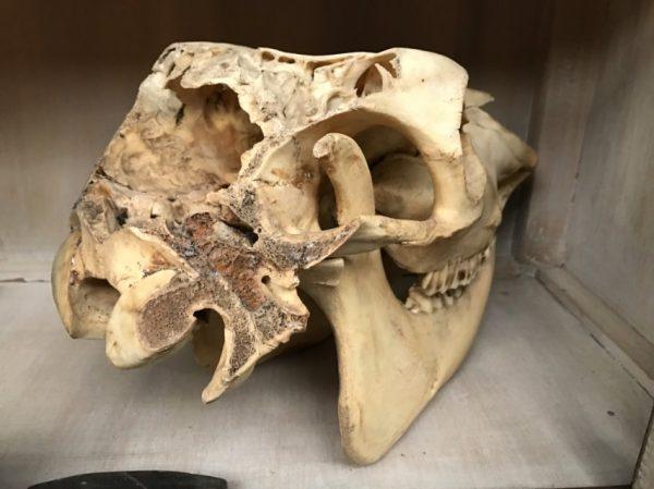 Oude schedel van een koe