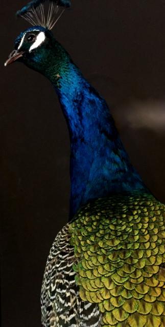 Ornate stuffed peacock