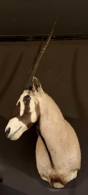 Ausgestopfter Kopf eines Oryx
