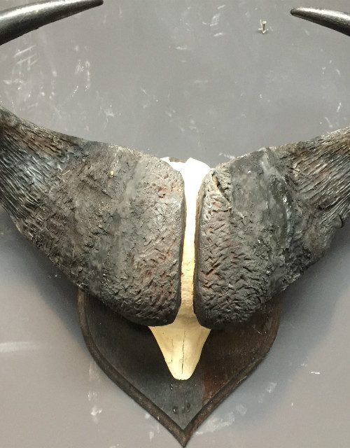 Alte schwere Schädel eines Kaffernbüffel von Rowland Ward