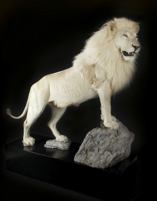 Zeer exclusieve opgezette witte leeuw, opgezette leeuw