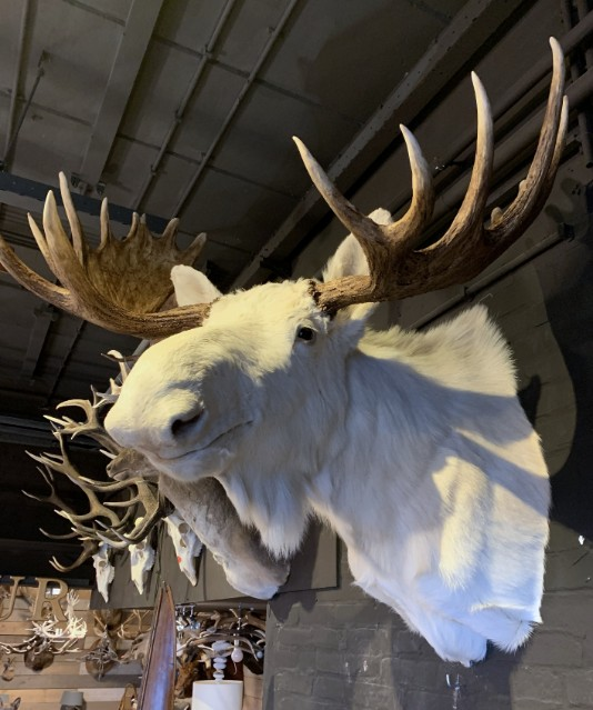 Zeldzame witte eland.
