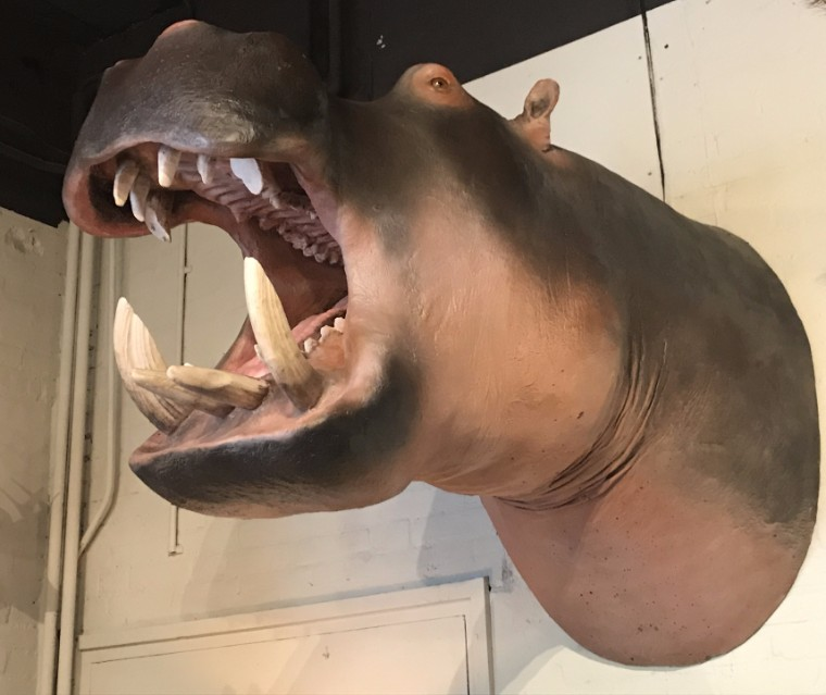 Levensechte replica van een nijlpaard. Nijlpaardenkop
