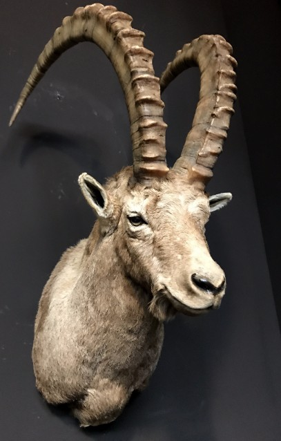 Recently captured head of a capricorn