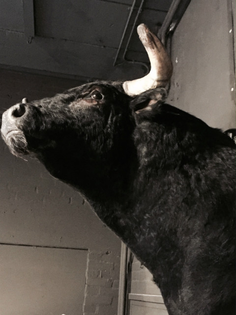 Recently established Spanish fighting Bull