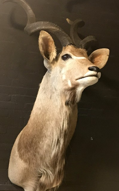 Recently made taxidermy head of a kudu