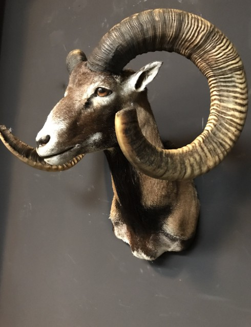 Recently made taxidermy head of a Mouflon