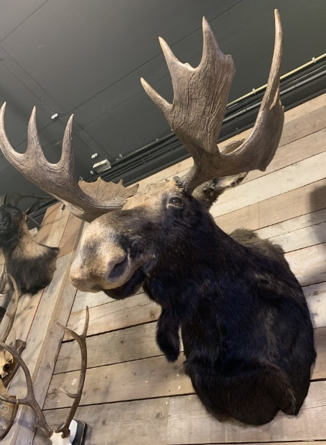 Recent opgezette Canadese eland.