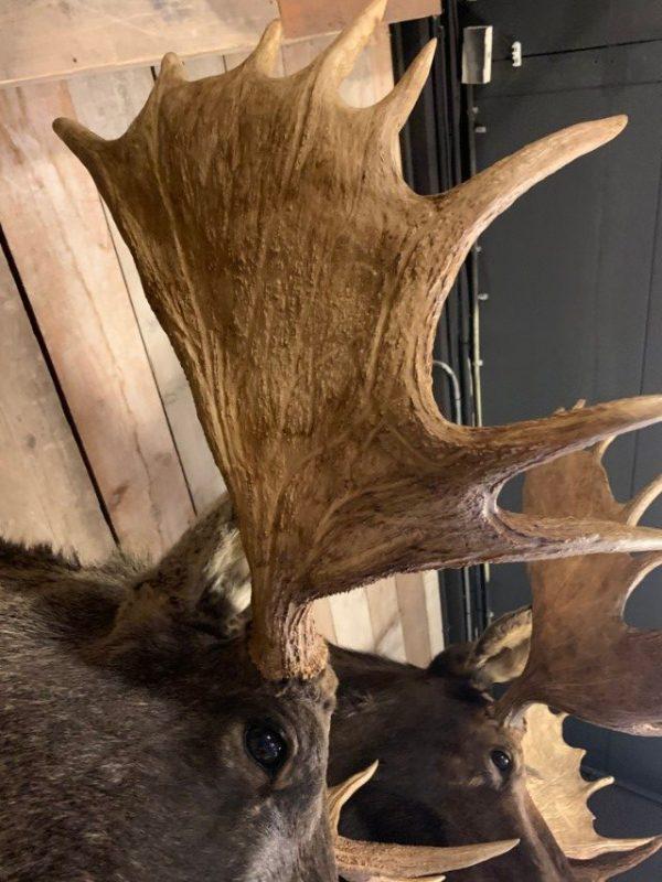 Recently mounted head of a Scandinavian moose.