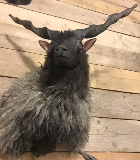 Recent opgezette kop van een racka schaap
