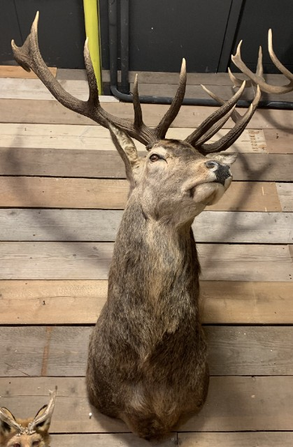 Recently stuffed head of a red stag