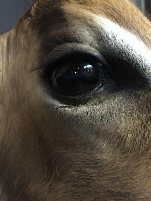 Recentelijk opgezette kop van een impala