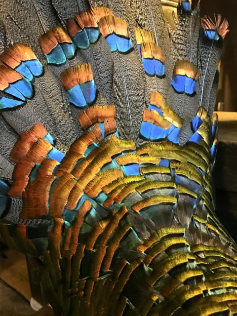 Kürzlich gefüllte Pfau Türkei (Meleagris ocellata)