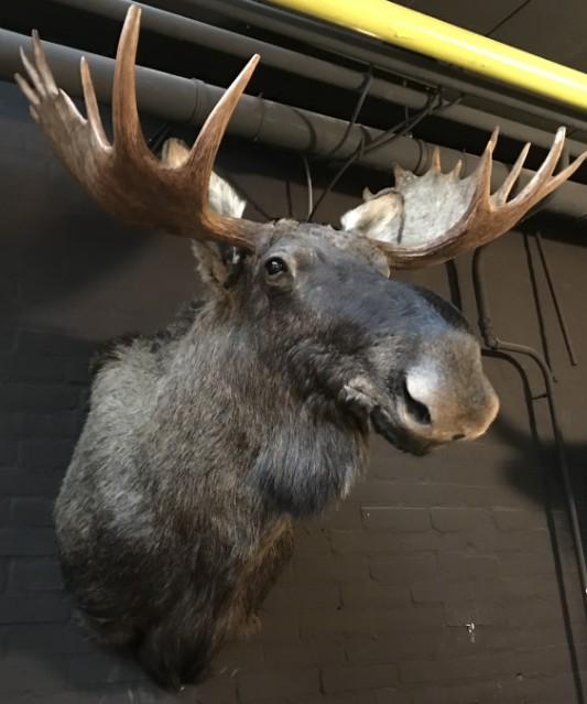 Scandinavian moose head