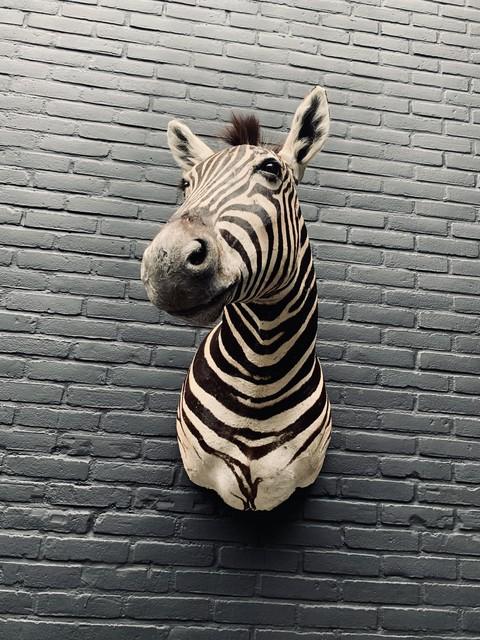 Schultermontage eines Burchell-Zebras