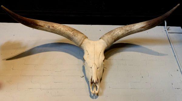 Schedel van een enorme Watusi stier