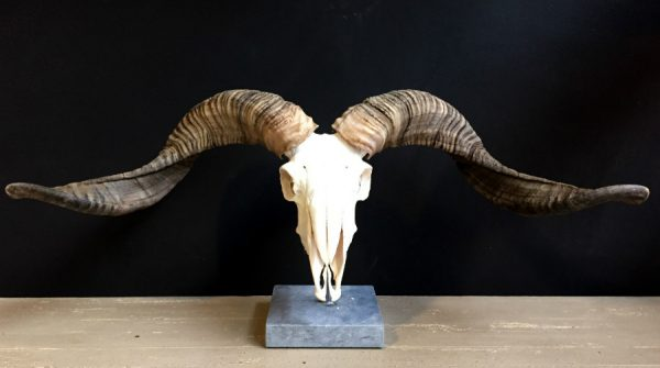 Skull of a very large ram