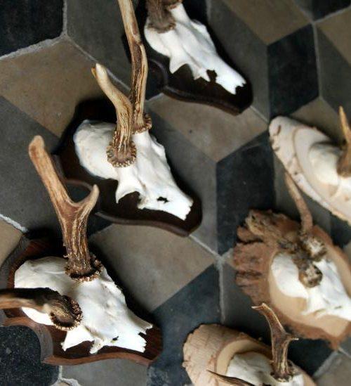 Skulls of roe bock. Roe bock antlers