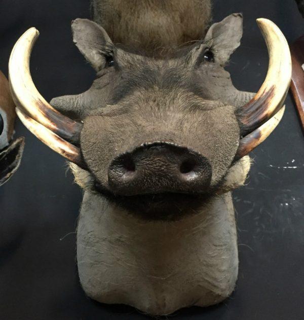 SM 101-A, Jagdtrophäe eines Warzenschwein