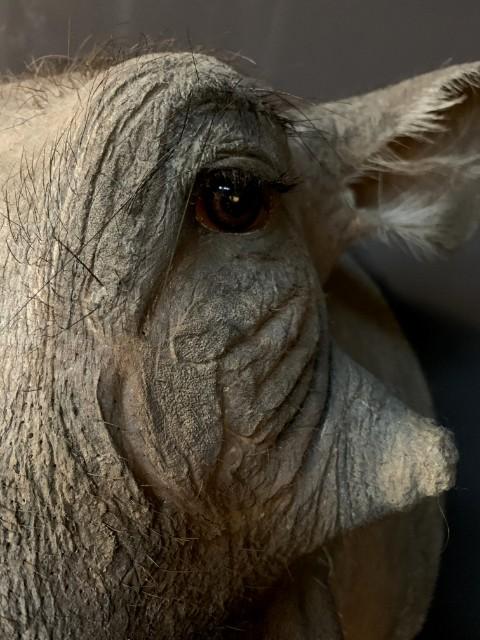 Opgezette kop van een wrattenzwijn